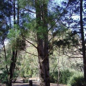 Callitris baileyi Photographs of Australian Native Plants Trees Callitris baileyi A