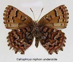 Callophrys niphon wwwdiscoverlifeorgIMINEA0005mxCallophrysn
