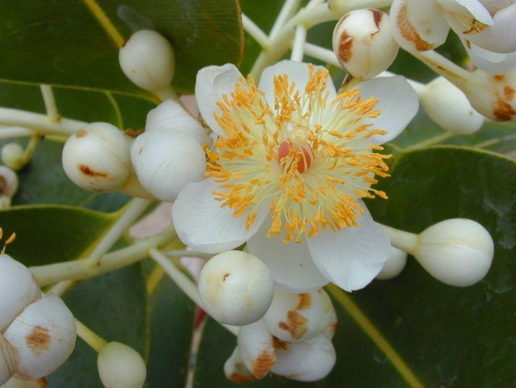 Calophyllum Calophyllum Wikipedia