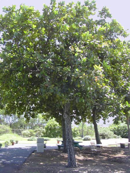 Calophyllum Calophyllum inophyllum seed oil Wikipedia