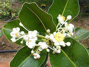 Calophyllum httpsuploadwikimediaorgwikipediacommonsthu