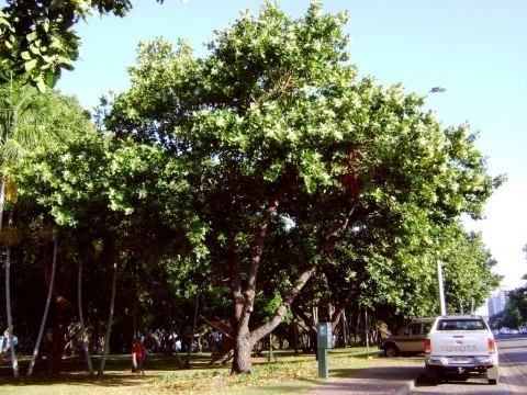 Calophyllum Calophyllum inophyllum Useful Tropical Plants