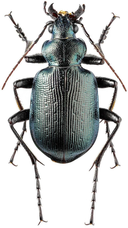 Calosoma Calosoma Calosoma inquisitor Linne 1758 414 Carabidae