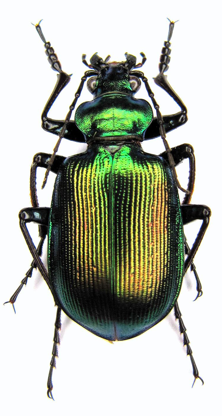 Calosoma Calosoma Calosoma oceanicum klynstrai Breuning 1927 Carabidae