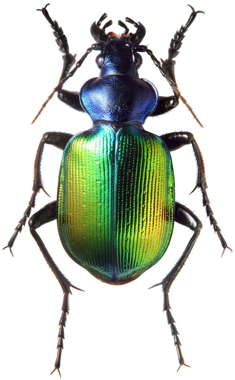 Calosoma Genus Calosoma Weber 1801 Carabidae