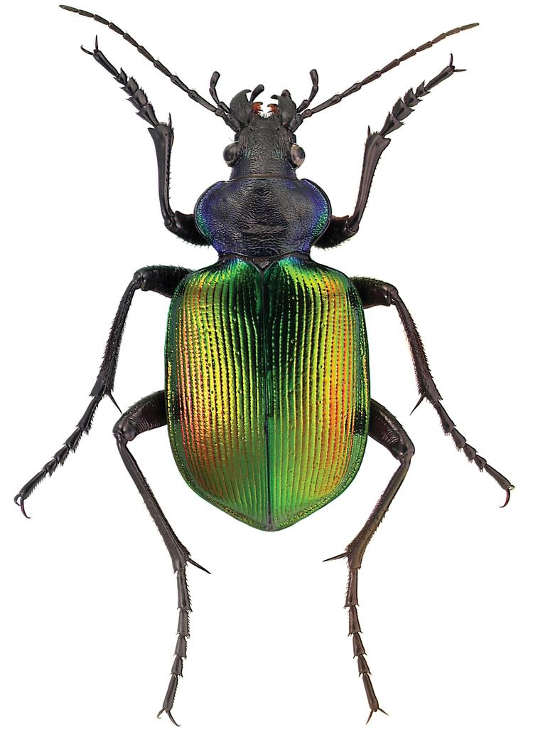 Calosoma FileCalosoma sycophanta L ZooKeys245001g009jpeg Wikimedia