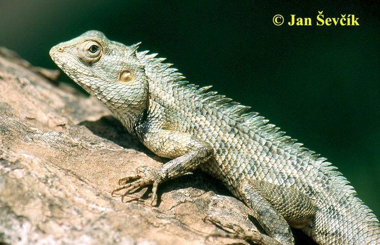 Calotes Picture of lepojetr pestr Changeable Lizard Blutsaugeragame