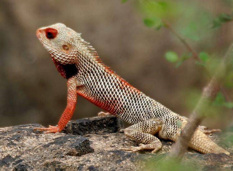 Calotes FileIndian Garden Lizard Calotes versicolor in AP W IMG 9913jpg