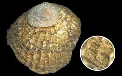 Calyptraea Calyptraeidae pictures