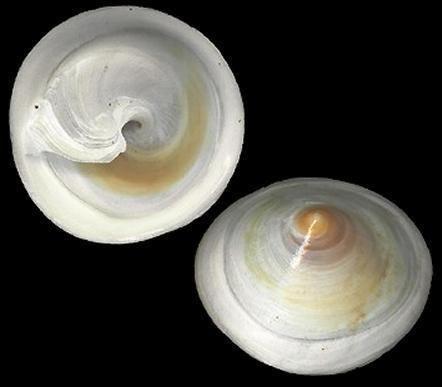 Calyptraea Calyptraeachinensis2jpg