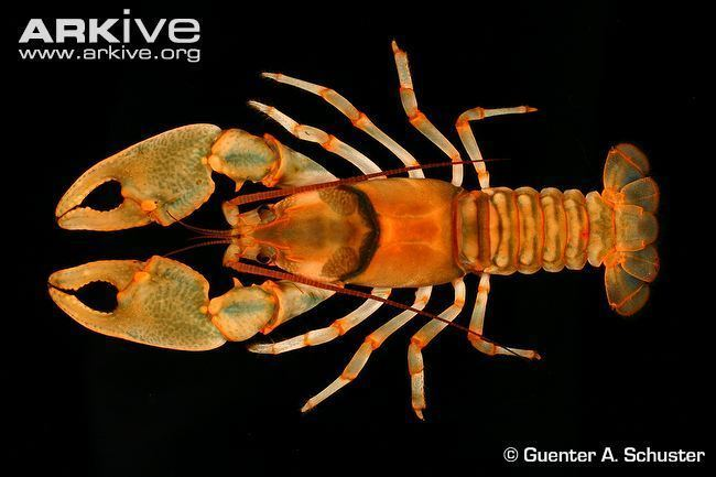 Cambarus Fireback crayfish videos photos and facts Cambarus pyronotus ARKive