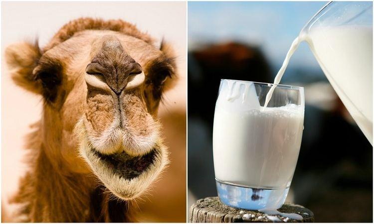 Camel milk 10 Reasons You Should Start Drinking Camel Milk