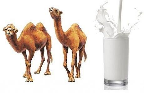 Camel milk Benefits Of Camel39s Milk