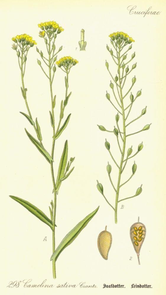 Camelina sativa Camelina sativa Brassicaceae image 26288 at PlantSystematicsorg