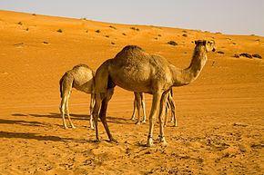 Camelini httpsuploadwikimediaorgwikipediacommonsthu