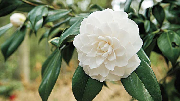 Camellia Alchetron The Free Social Encyclopedia