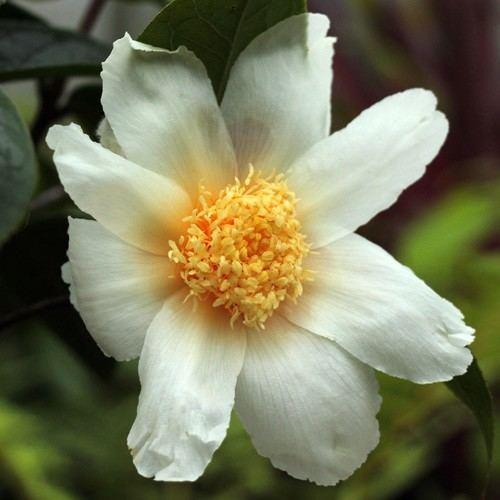 Camellia granthamiana Jim39s Camellias Gallery G