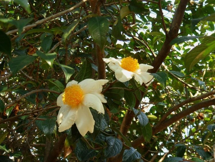 Camellia granthamiana Camellia granthamiana Sealy