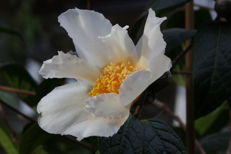 Camellia granthamiana Kamelie quotCamellia granthamianaquot Wildart 26112011 Flickr