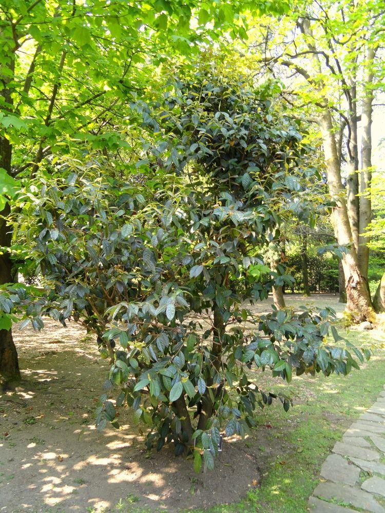 Camellia granthamiana httpsuploadwikimediaorgwikipediacommons77