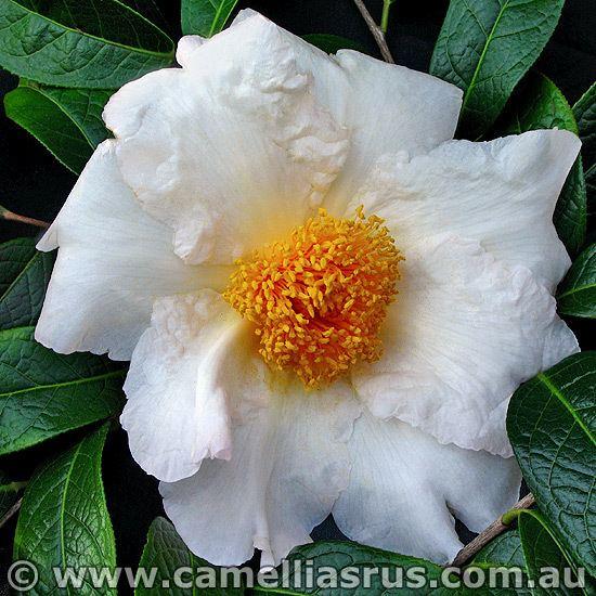 Camellia granthamiana Granthamiana Camelias R Us