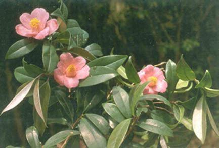 Camellia hongkongensis Hong Kong HerbariumRare and Precious Plants of Hong Kong Online