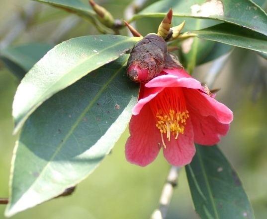 Camellia hongkongensis Camellia