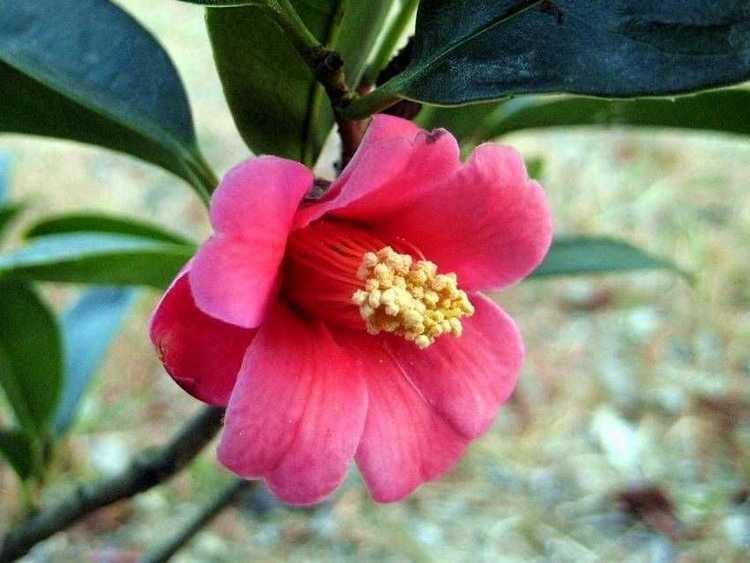 Camellia hongkongensis camelliahongkongensis1jpg