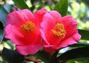Camellia hongkongensis Camellia hongkongensis ZipcodeZoo
