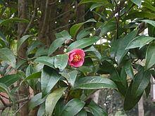 Camellia hongkongensis httpsuploadwikimediaorgwikipediacommonsthu