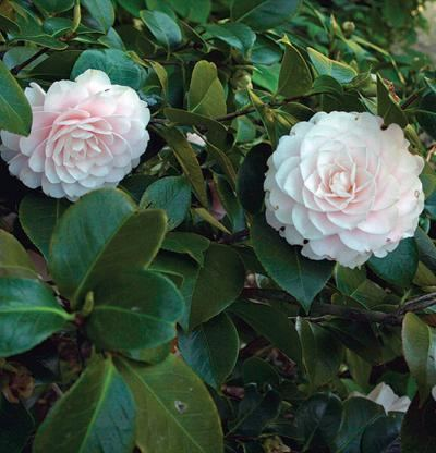 Camellia japonica wwwfinegardeningcomsitesfinegardeningcomfile