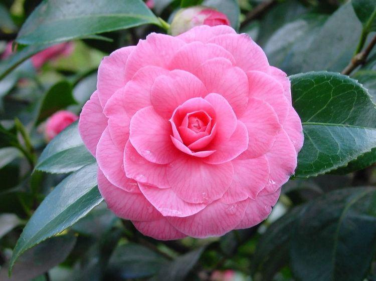 Camellia japonica Plants amp Flowers Camellia japonica