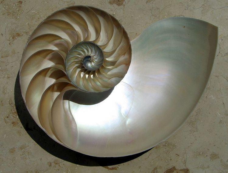Camera (cephalopod)