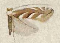 Cameraria leucothorax