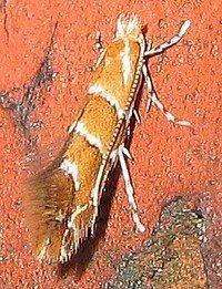 Cameraria (moth) httpsuploadwikimediaorgwikipediacommonsthu