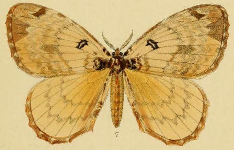 Camerunia orphne
