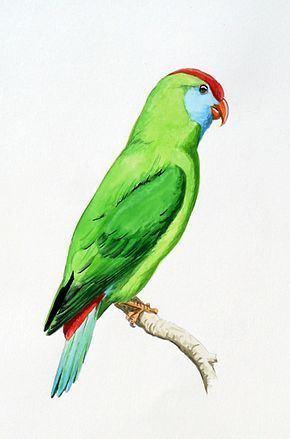 Camiguin hanging parrot httpsuploadwikimediaorgwikipediacommonsthu