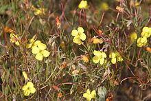 Camissonia campestris httpsuploadwikimediaorgwikipediacommonsthu