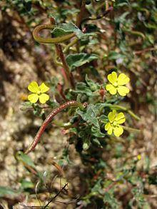 Camissonia pubens httpsuploadwikimediaorgwikipediacommonsthu