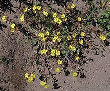 Camissoniopsis bistorta httpsuploadwikimediaorgwikipediacommonsthu