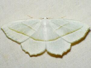 Campaea perlata Moth Photographers Group Campaea perlata 6796