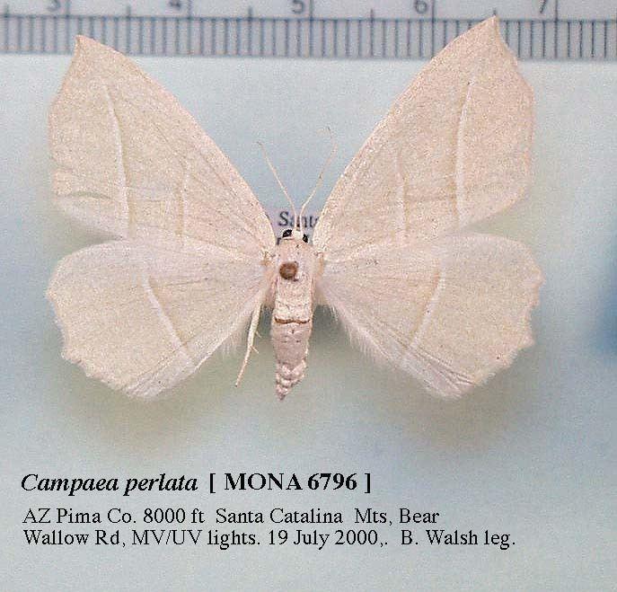 Campaea perlata Species Campaea perlata Pale Beauty Hodges6796 BugGuideNet
