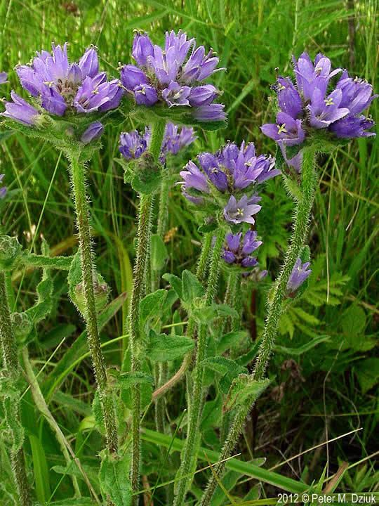 Campanula cervicaria wwwminnesotawildflowersinfoudatar9ndp23qpdca