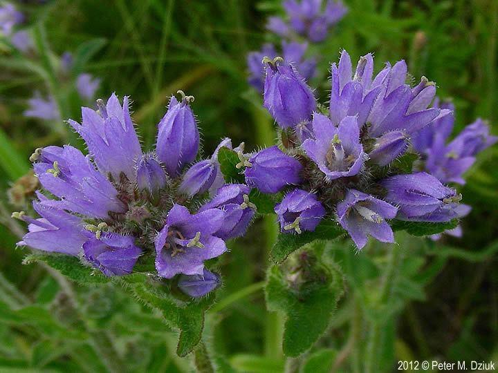 Campanula cervicaria Campanula cervicaria Bristly Bellflower Minnesota Wildflowers