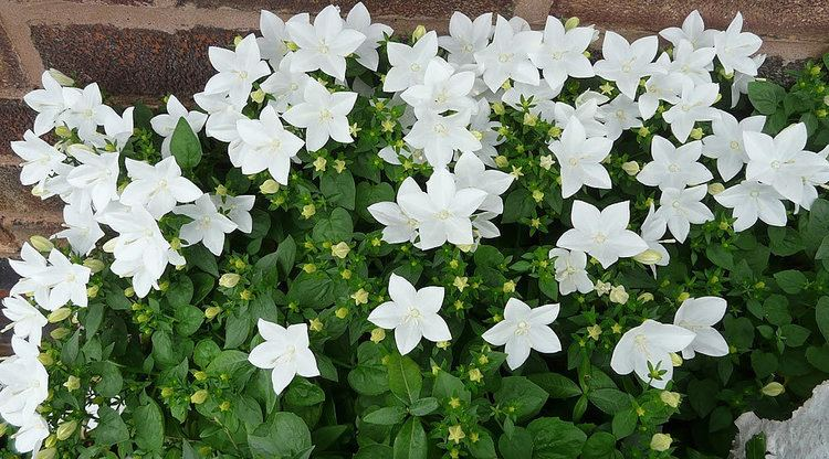 "Campanula poscharskyana Trailing Bell Flower Plant in 3.5/"" Pot"