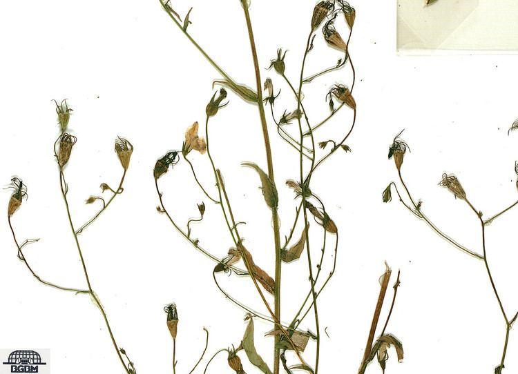 Campanula patula Campanula patula spreading bellflower Go Botany