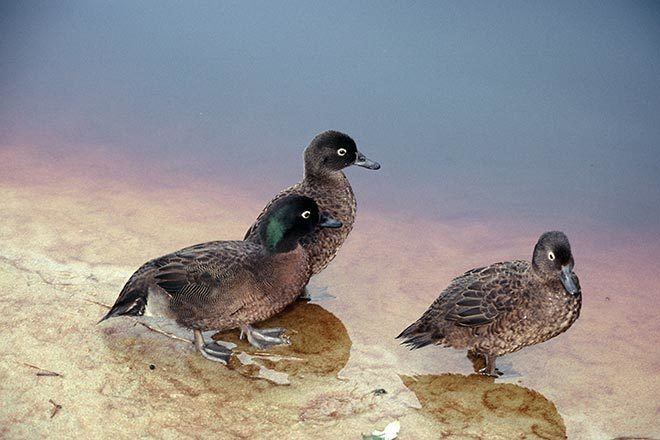 Campbell teal Campbell Island teal Wetland birds Te Ara Encyclopedia of New