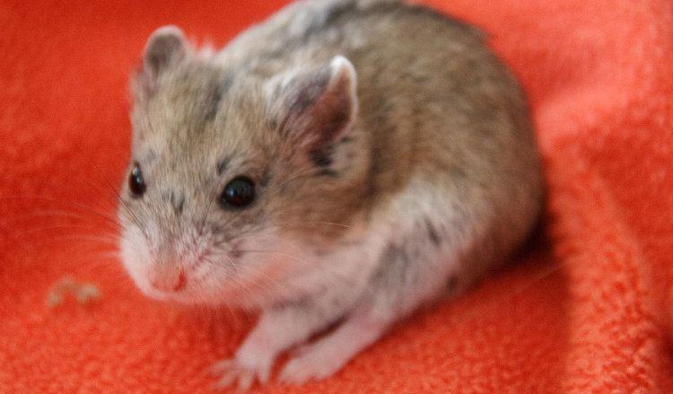 Campbell S Dwarf Hamster Alchetron The Free Social Encyclopedia