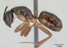 Camponotus atriceps httpsuploadwikimediaorgwikipediacommonsthu