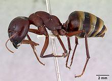 Camponotus aurocinctus httpsuploadwikimediaorgwikipediacommonsthu